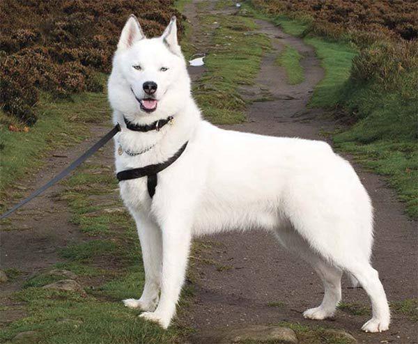 75 Indian Dog Names Canadian Eskimo Dog Canadian Eskimo Dog Breeds