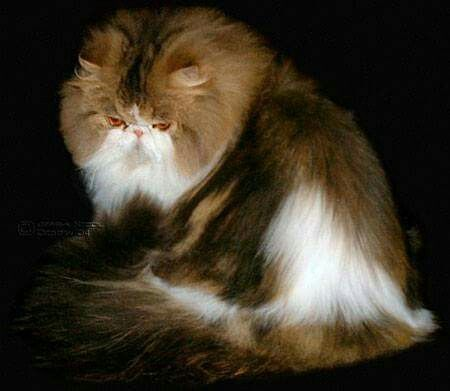 Sandy B Fancy Pants Brown Tabby White Female Katzen