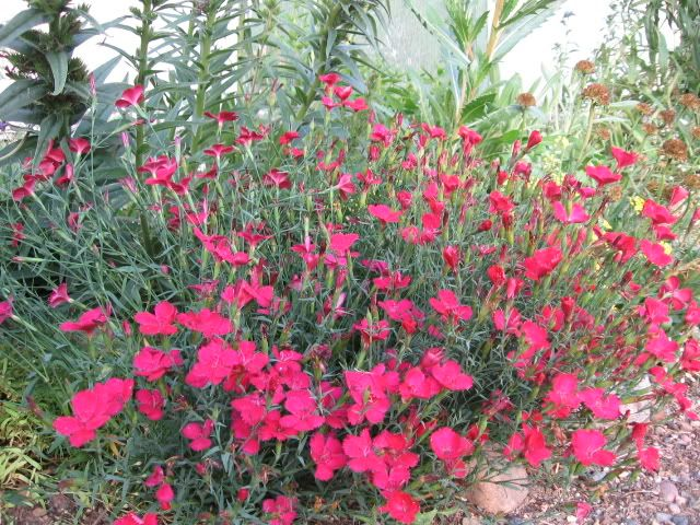 Some More Ws D Plants Dianthus Flowers Perennials Flowers Perennials
