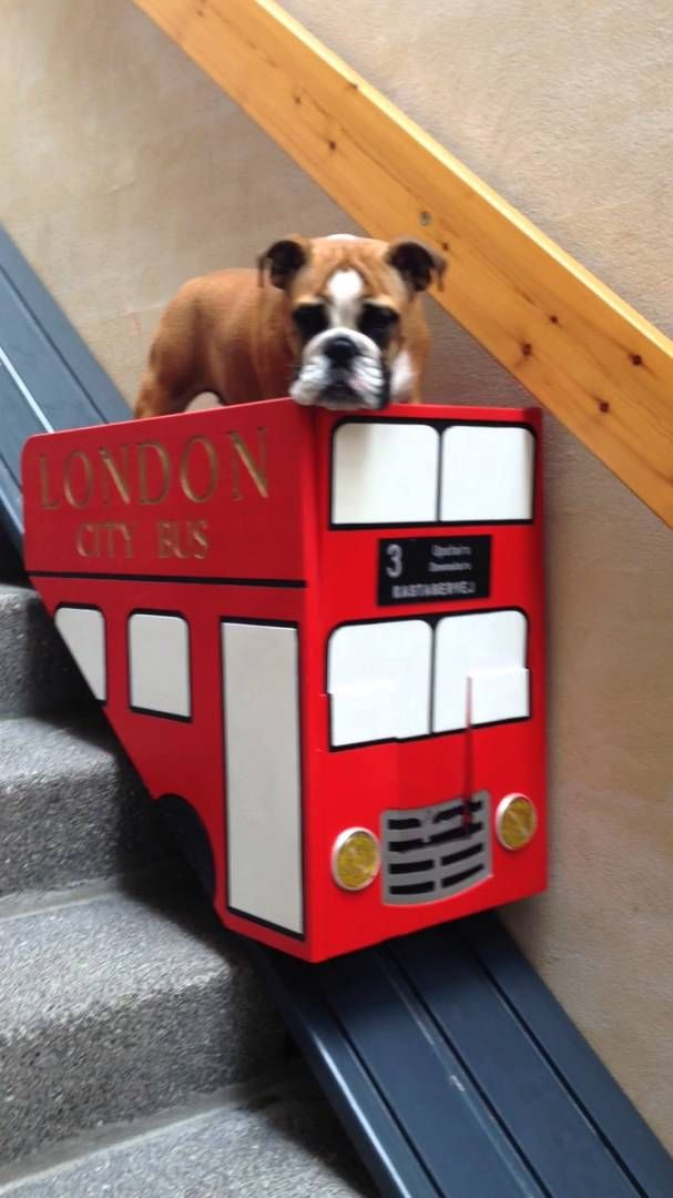 Elderly English Bulldog Rides Down The Stairs In A Custom Stair