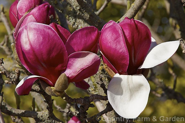 Magnolia Ruby Magnolia X Soulangiana Picture Hybrid A Hybrid With Medium Sized Goblet Shaped Flowers That Are Purple Red On The O Magnolia Flowers Photo