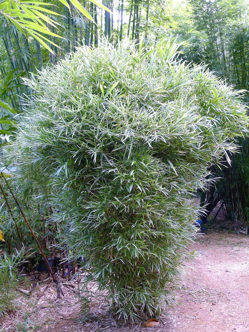 Landscaping With Dwarf Bamboo : Malay dwarf this is a very dense bamboo used for privacy hedging windbreaks and as an