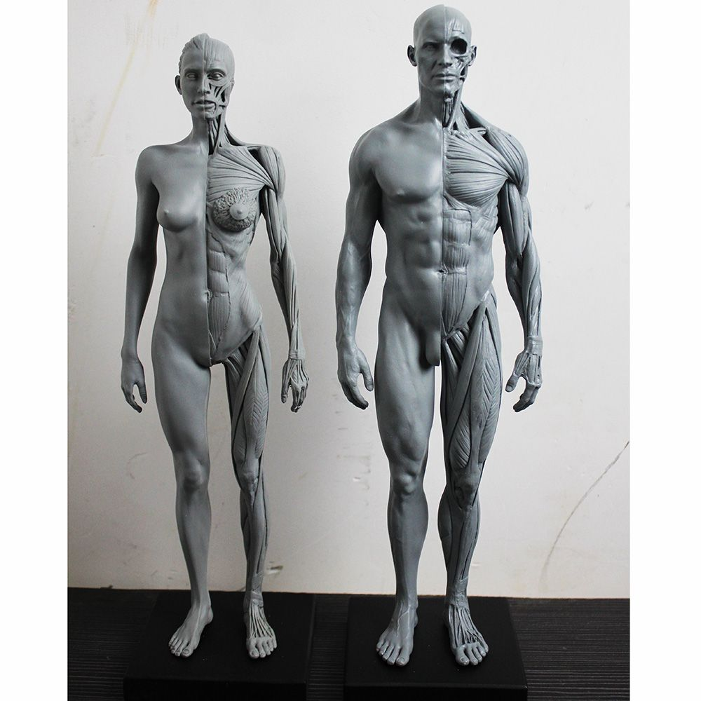30cm 1:6 human body anatomy model cg 3Dmax model teaching model ...