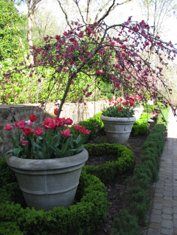Cherry Tree And Tulips In Large Concrete Container Potted Trees Garden Styles Container Gardening