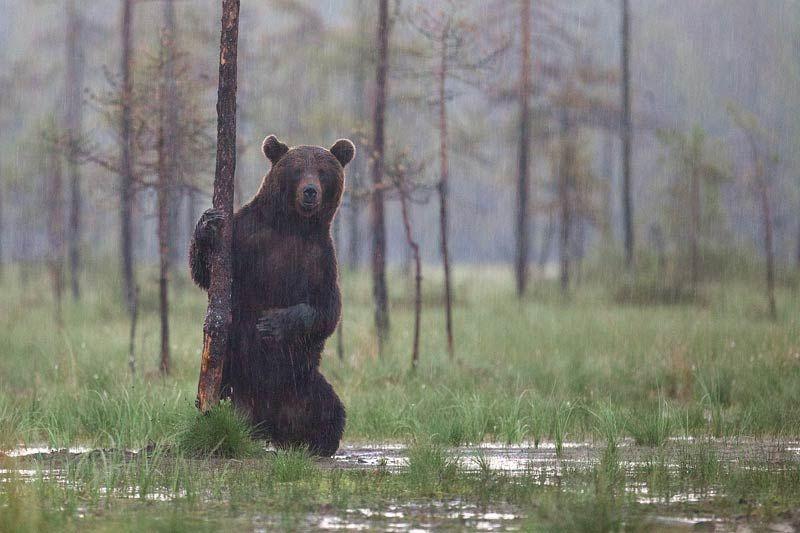 Foto Peeter Nahko 2011 Karu Vihmas Bear In The Rain Baltic
