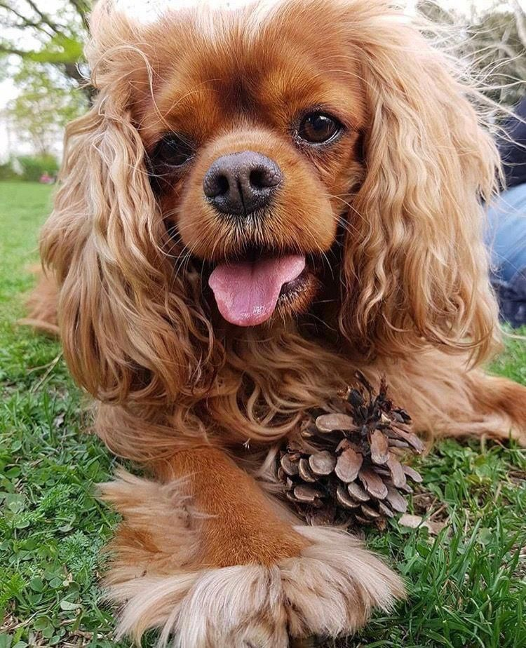 Cavalier King Charles Spaniel Graceful And Affectionate King Charles Cavalier Spaniel Puppy King Charles Dog Cavalier King Charles