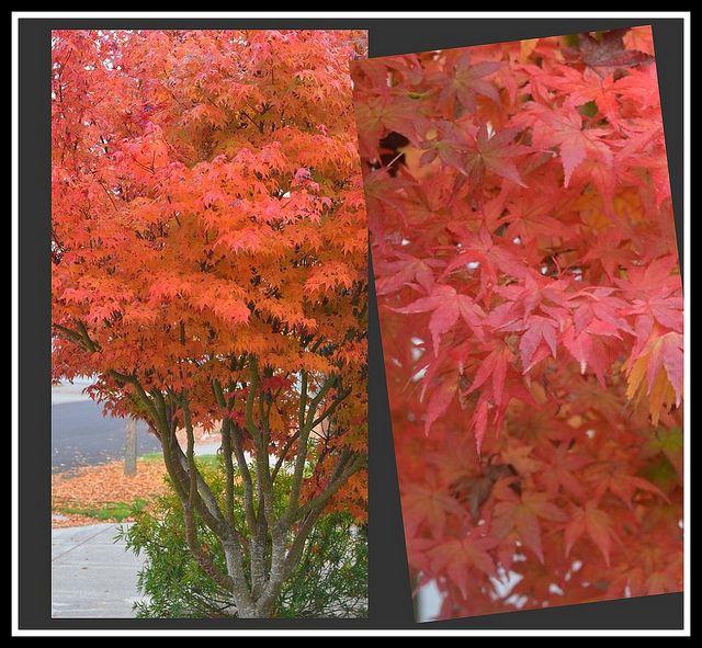 Emperor 1 Japanese Maple Acer Palmatum Japanese Maple Acer