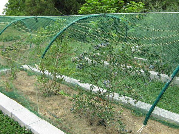 Three and four year old blueberry bushes under bird netting