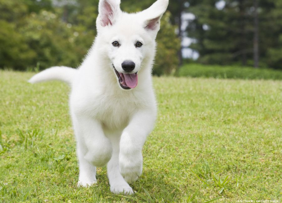 Cute German Shepard Puppy Shepherd Puppies Dog Breeds Puppies