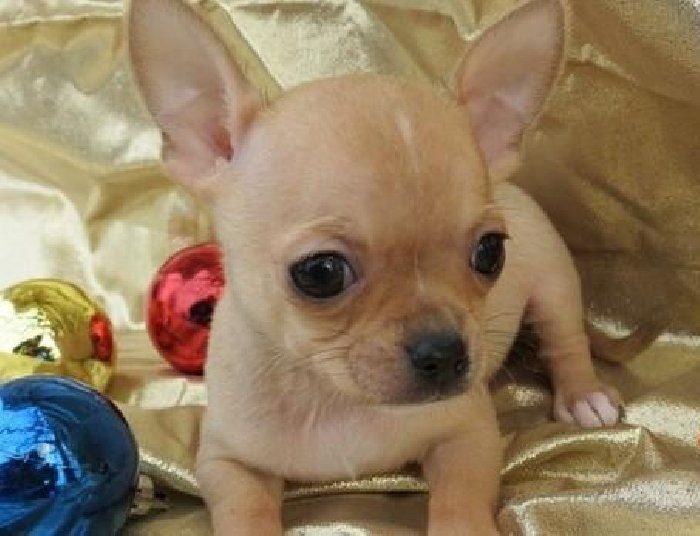 chiuaua puppies for sale in ky adopt this cute chihuahua and get a taco just kidding no 3778