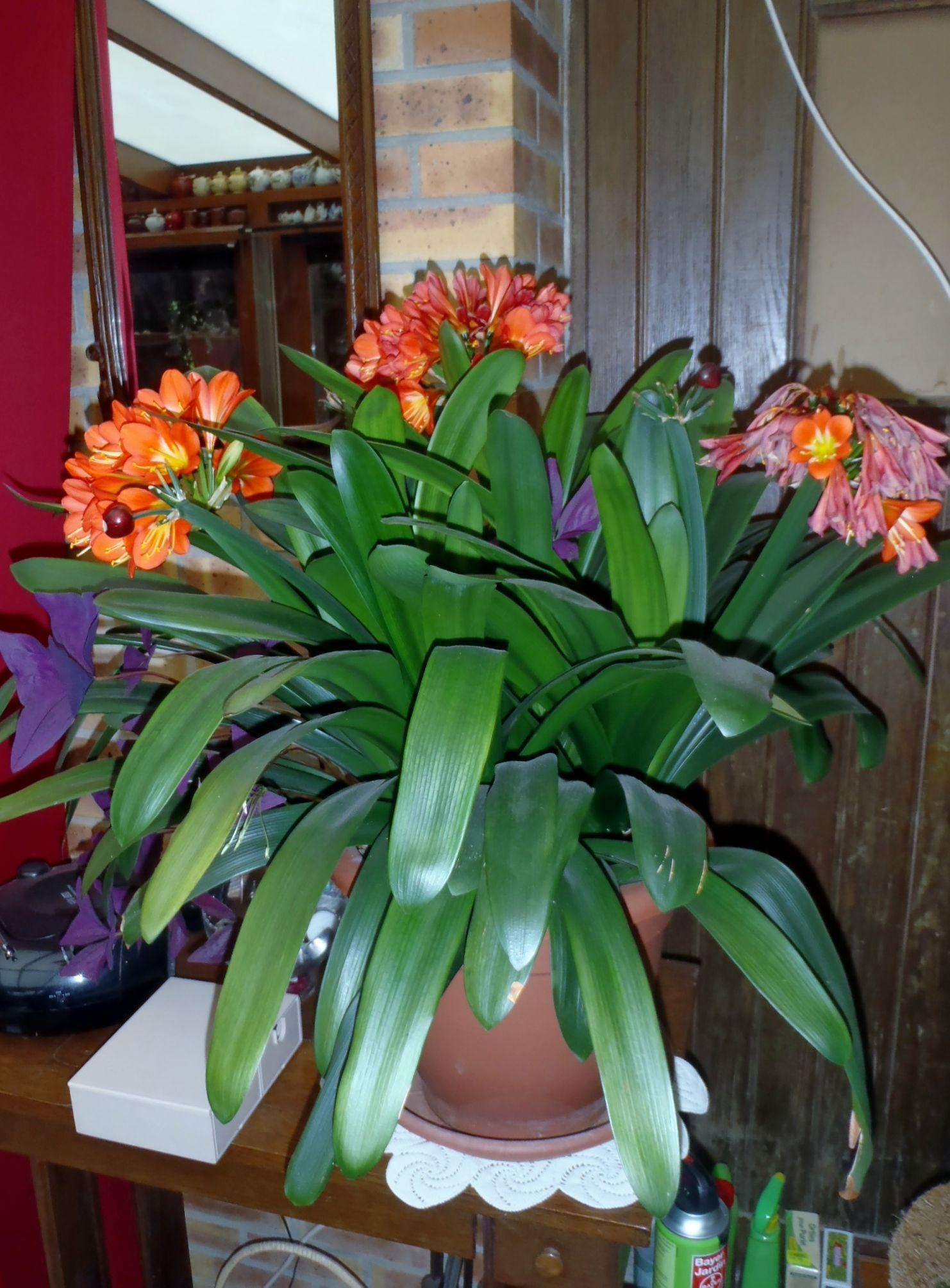 mon clivia le clivia clivia miniata plante de la m me famille que l amaryllis a besoin d une. Black Bedroom Furniture Sets. Home Design Ideas