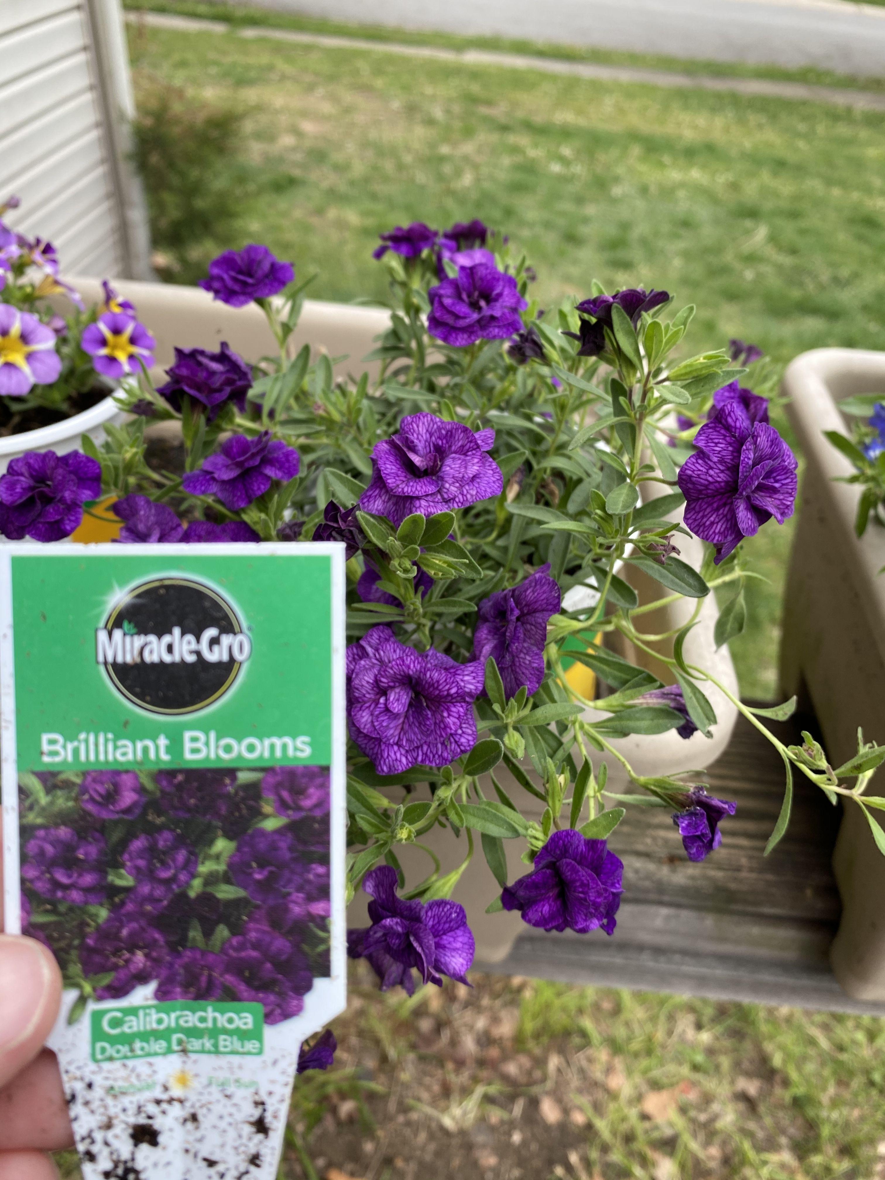 Calibrachoa in 2020 bloom plants