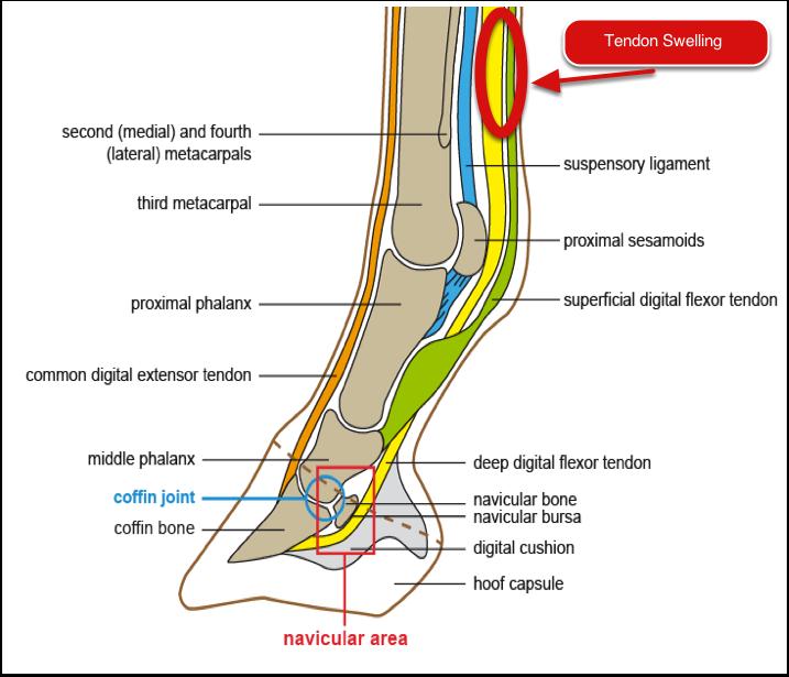 Lesson Plans Horse Anatomy Google Search Leg Anatomy Leg Tendons Horse Anatomy
