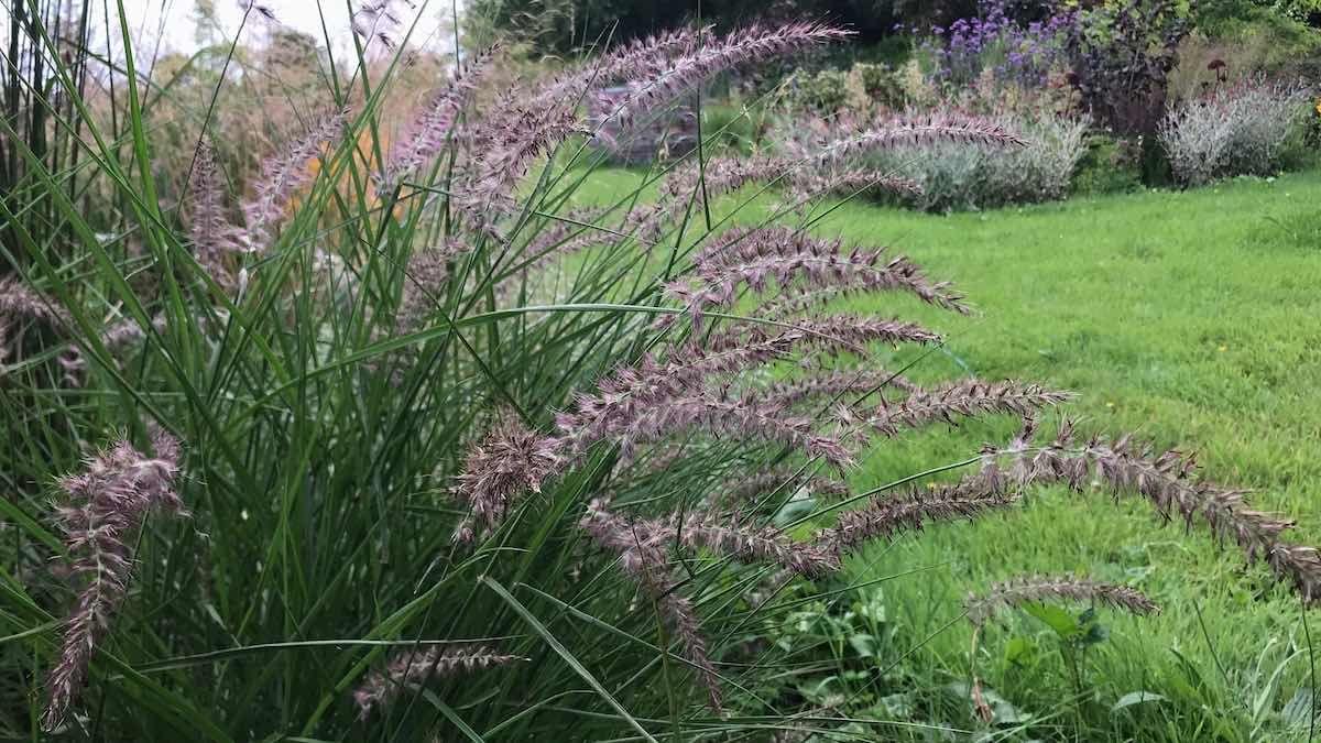 Best Ornamental Grasses For Small Large Gardens Ornamental