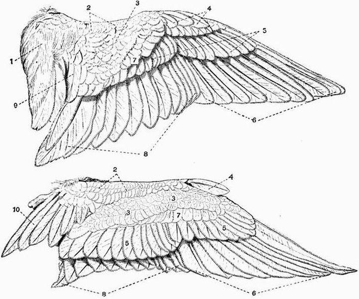 bird wings anatomy - 721×600