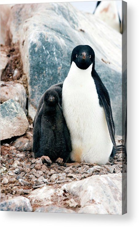 Adelie Penguin With Chick Acrylic Print by William Ervin/science Photo Library