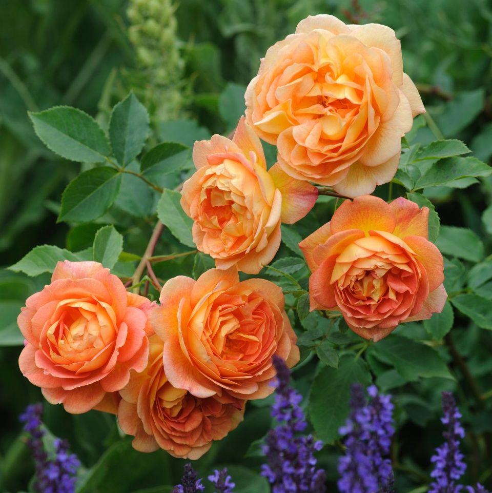 Именно такими характеристиками наделены розы дэвида остина.