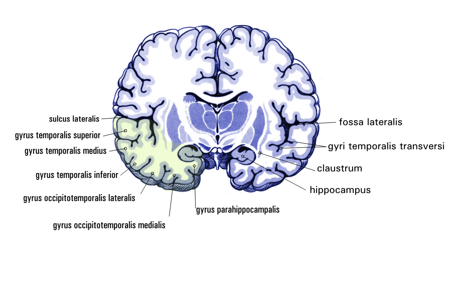 From Wikiwand: Coronal section. Parahippocampal gyrus ...