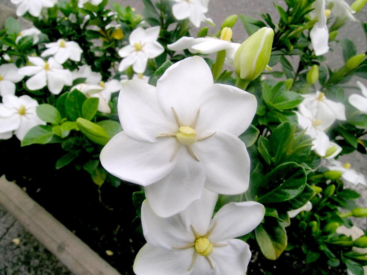 Gardenia Flower His Late And Fragrant White Flowers Immaculately
