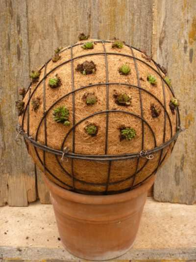 Jovibarba Globe Use Your Excess Of Rollers For This Garden Craft Succulents Planting Succulents Garden Containers