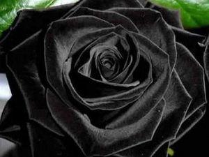 صور مذهلة لزهور باللون الأسود موقع رائج Black Rose Black Flowers Fun Facts