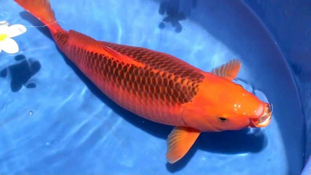 Beautiful Aka Matsuba female Great color lovely scale reticulation ...