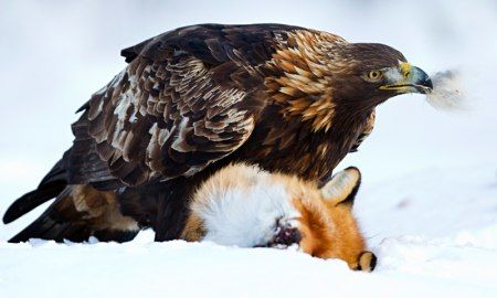 Golden Eagle & Red fox