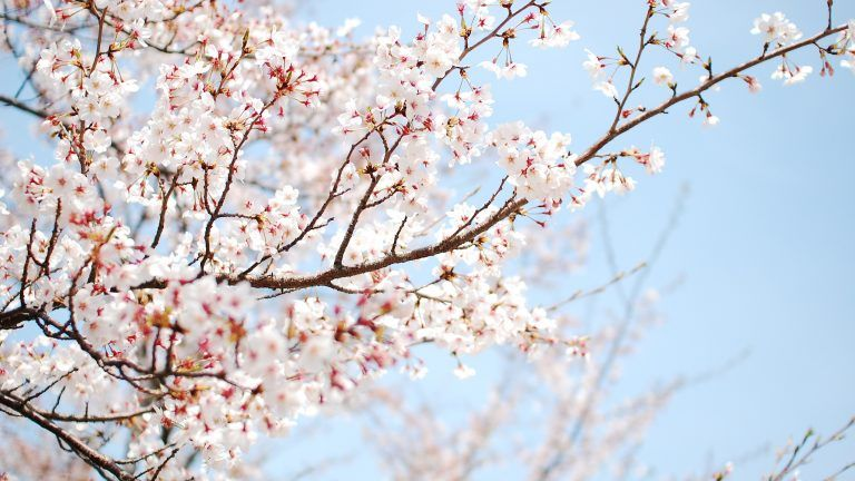 Free Download Cherry Blossom Wallpaper White Cherry Blossom Background Cherry Blossom Wallpaper White Cherry Blossom Cherry blossom wallpapers hd