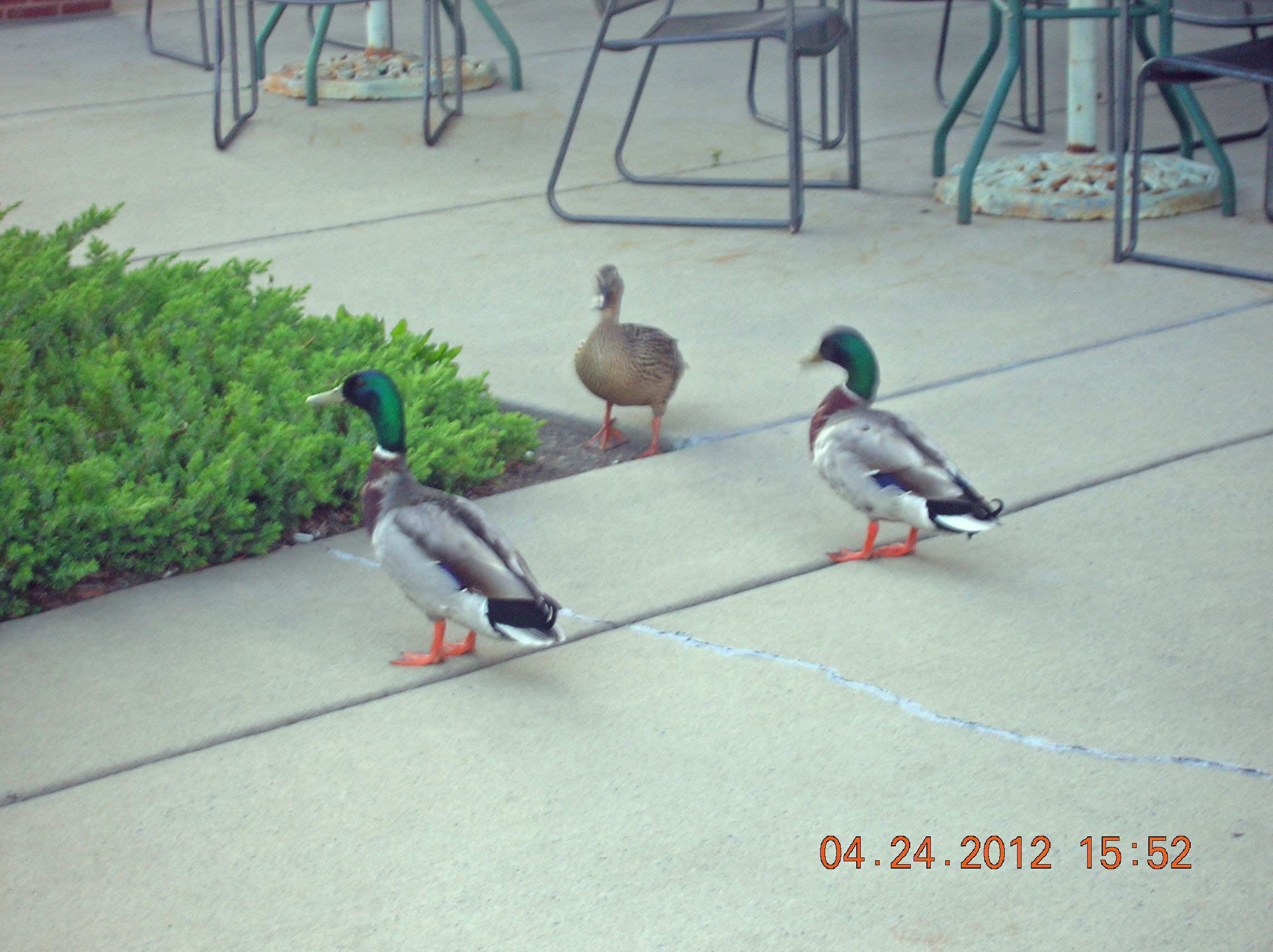 Even ducks have to go shopping?