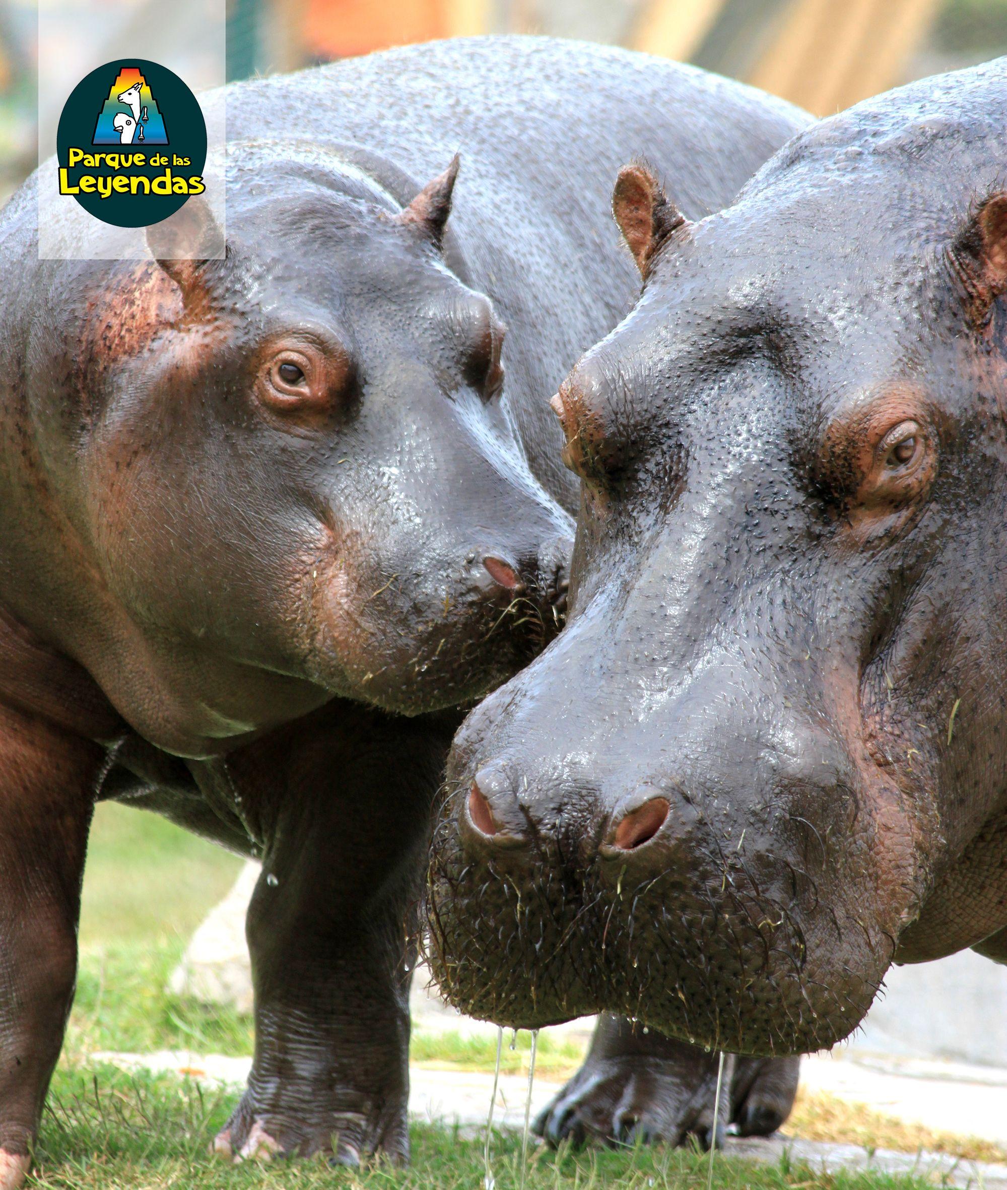 Hipopótamo del Nilo. Es el tercer animal terrestre más grande del mundo, después del rinoceronte blanco y el elefante. Pasa el día en el agua o el fango, descansando, pues su piel debe mantenerse húmeda constantemente, y sale al anochecer para alimentarse. Habita ríos y lagos. Se alimentan de hierbas terrestres y plantas acuáticas. ¿Sabías qué? El hipopótamo puede permanecer unos cinco minutos bajo el agua sin respirar y sus crías nacen bajo el agua.