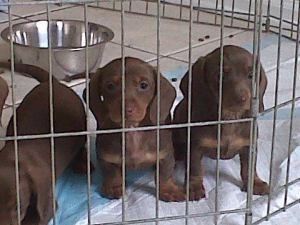 Mini Doxie Puppies Is An Adoptable Dachshund Dog In Bridgewater