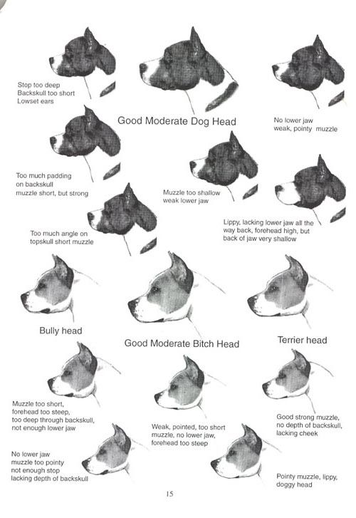 Pin By Tristan On Bulls Pitbulls Bully Breeds Chart American