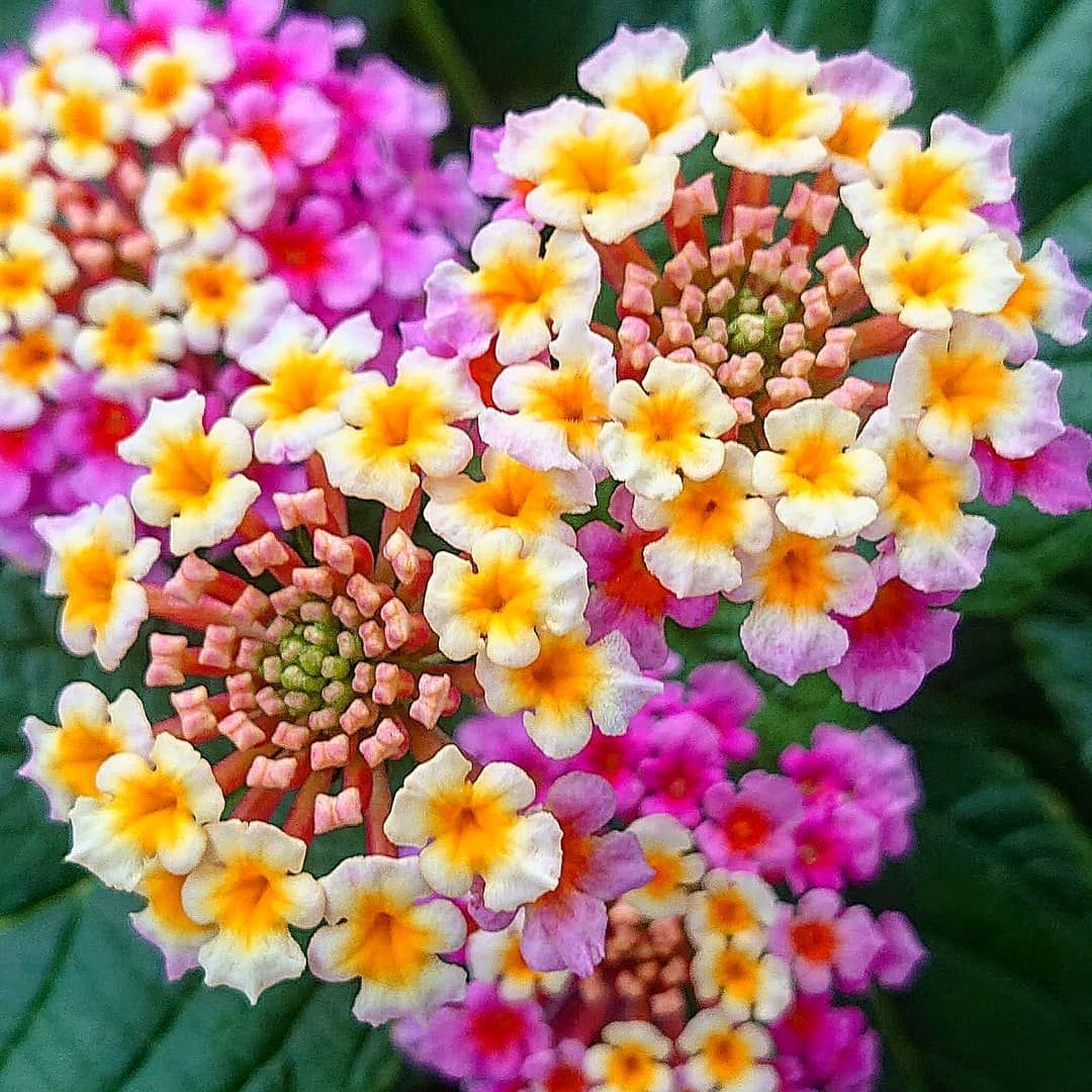 Lantana Lantana Camara World Bestflower World Bestangels World Bestmacro Macr Flowers Lantana Flower Pots