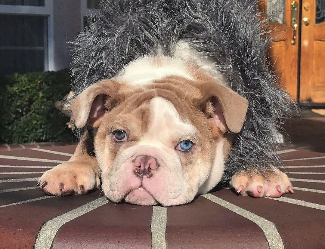 Bullyrazzis 310 463 9599 On Instagram Puzzle Enjoying The Sun After 2 Weeks Of Yucky Weather This Rare Sweet Bulldog Bull Dog Stuff Best Dog Breeds