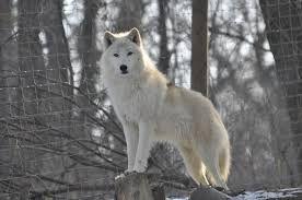 Resultado de imagem para wolves