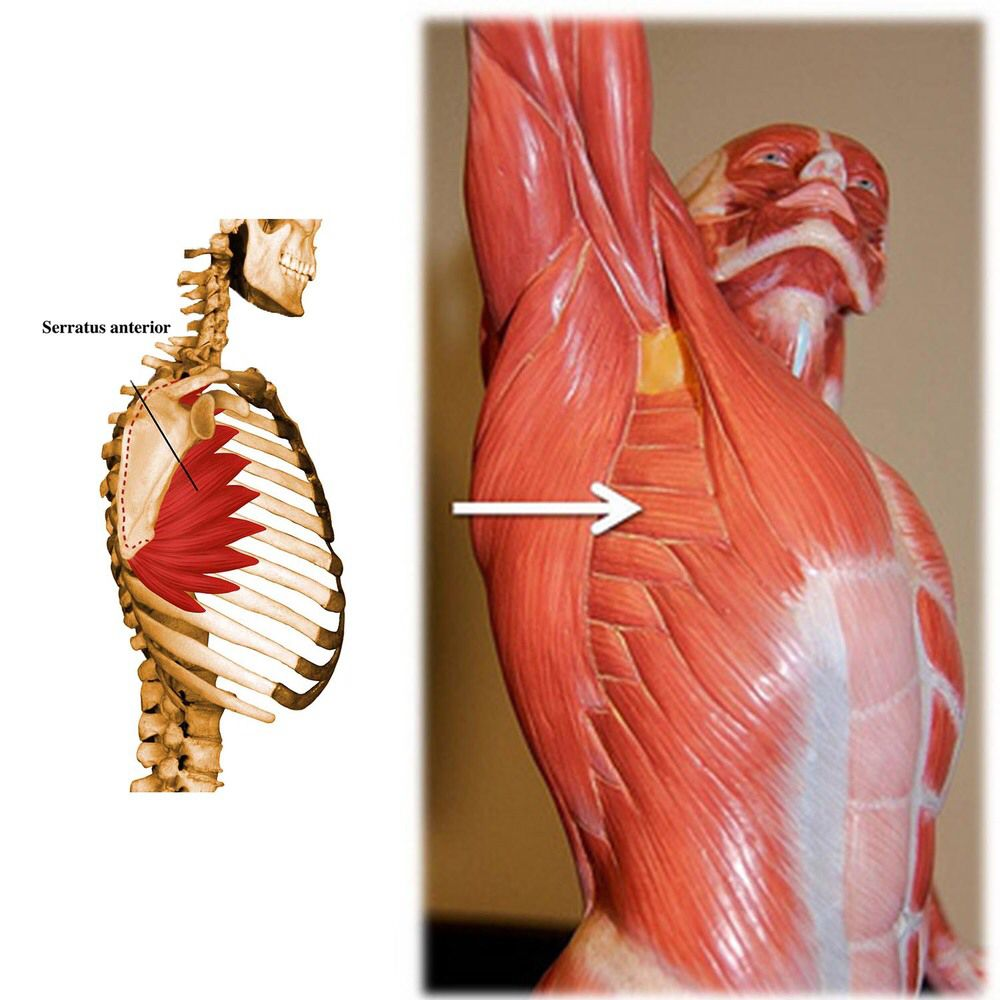 Serratus Anterior Ribs 1 To 8 Midway Between Angles And Costal