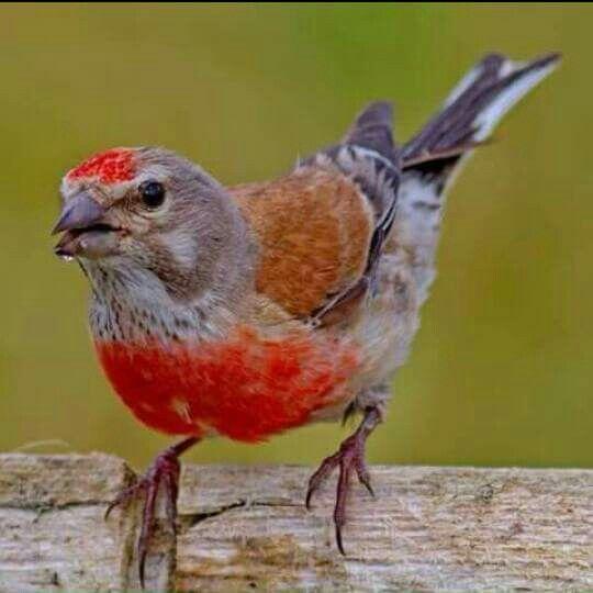 Pin De Rivka Basik En Carduelis Cannabina Pajaros Silvestres Pajaros De Colores Aves De Colores