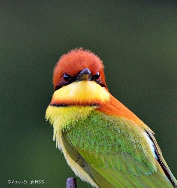 Chestnut-headed Bee-eater | Bee eater, Bee, Beautiful birds - photo#20
