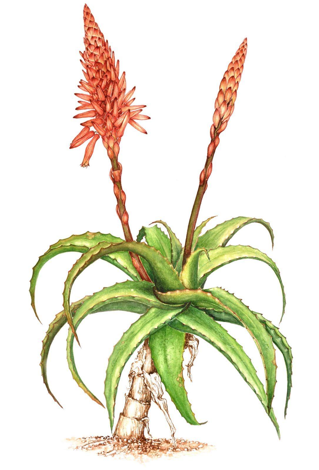 botanical drawings taking up botanical art aloe arborescens huis pinterest botanical. Black Bedroom Furniture Sets. Home Design Ideas