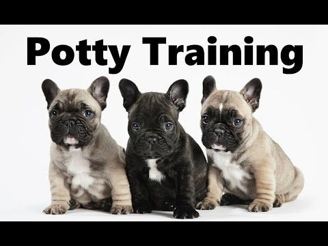 How To Potty Train A French Bulldog Puppy French Bulldog House