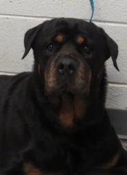 Stone Chipped Rottweiler Pet Search Dog Adoption Pet Adoption