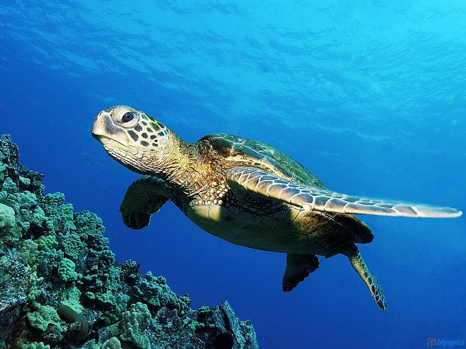 Sea Turtles Wallpaper Green Sea Turtle Wallpapers High Definition Quality Maui Reef