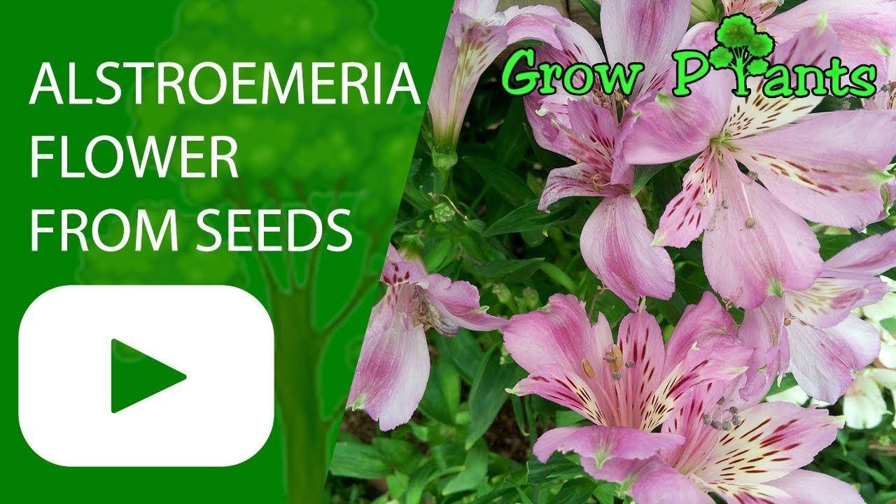 Alstroemeria Flower From Seeds Grow And Care Grow Care Harvest Eat A Lot Of Fruits Grow Care Harv Geranium Plant Rose Geranium Pollinator Plants