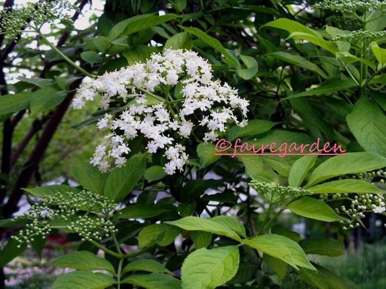 Golden Elderberry