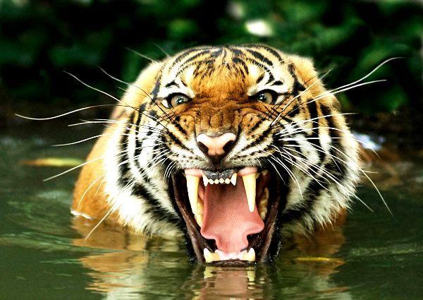 Tigre de bengala panthera tigris tigris animales for Bengala asia