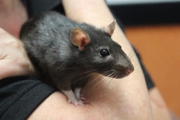 Even pet rats are looking for their new home at the