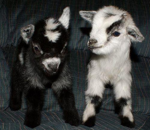 Baby Goat Gif D3d5be8e531f1e1115fcd65b6cc3b7 ...