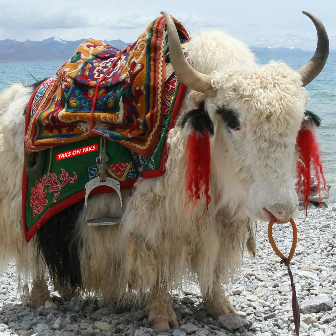 Yaks On Yaks Yak Animal Photography Animals