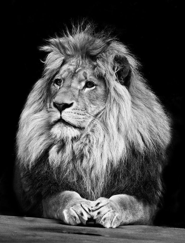 かっこいいモノクロ画像☆ふさふさのライオン | かっこいいモノクロ