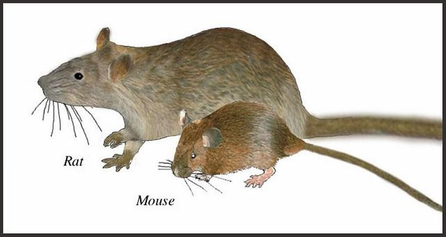 rat-and-mouse